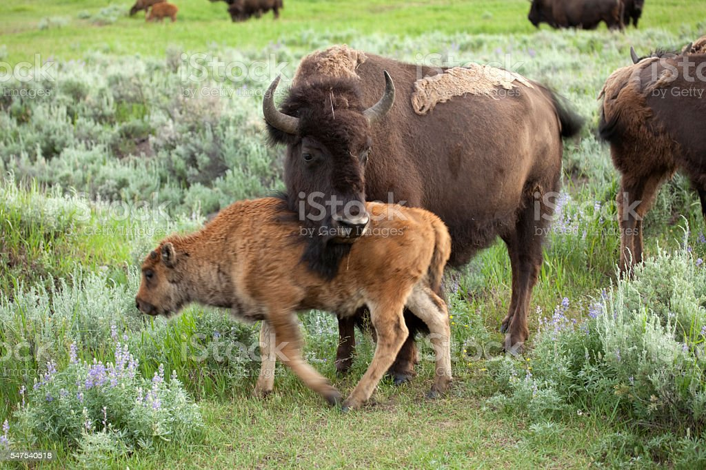 Bison calf with mother Yellowstone National Park Wyoming stock photo