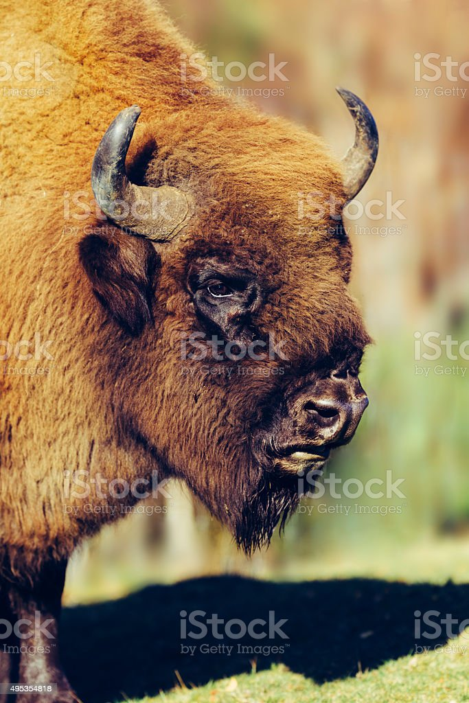 Bison, close up. stock photo