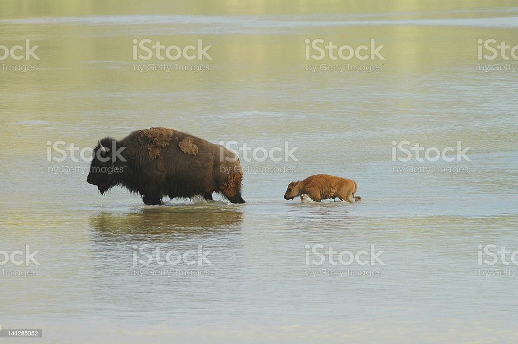 Bison Crossing royalty-free stock photo
