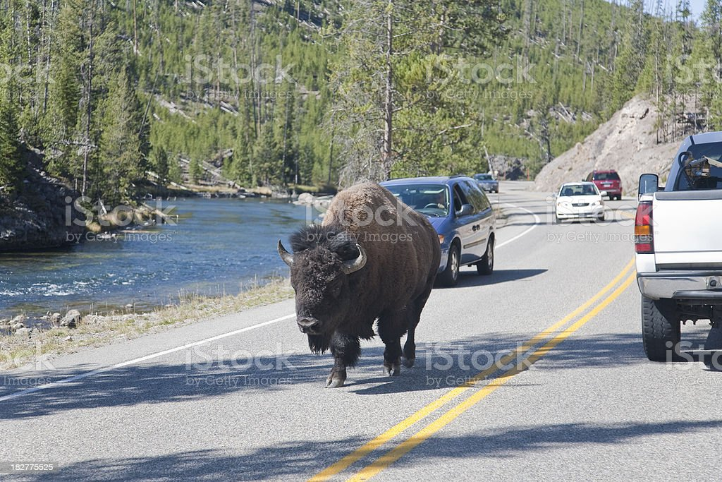 Bison Crossing Road royalty-free stock photo