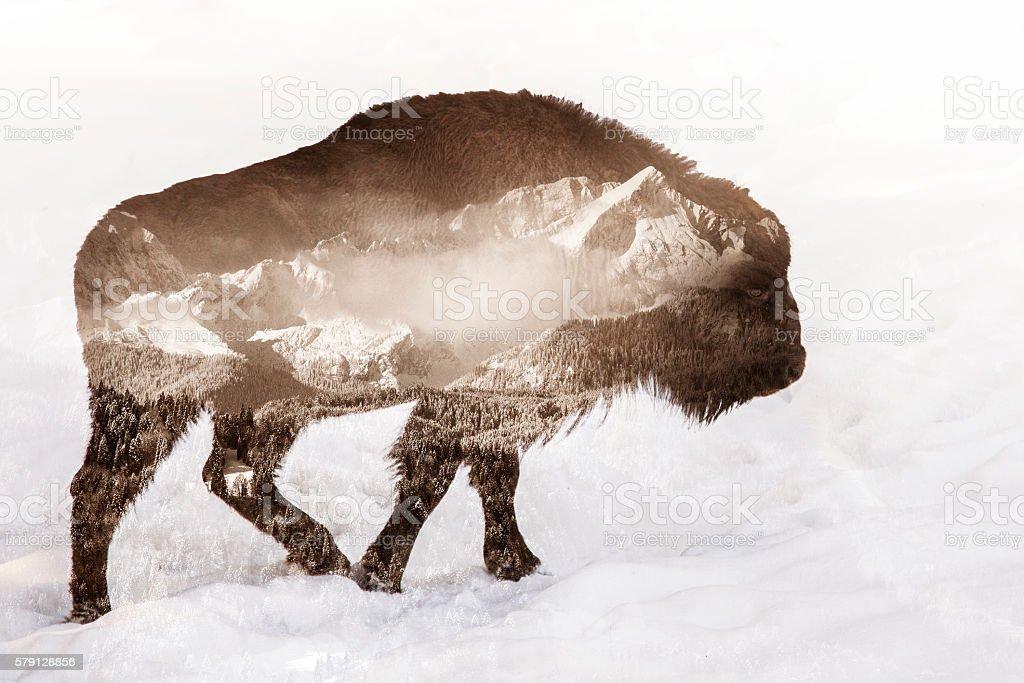 Bison Double exposure stock photo