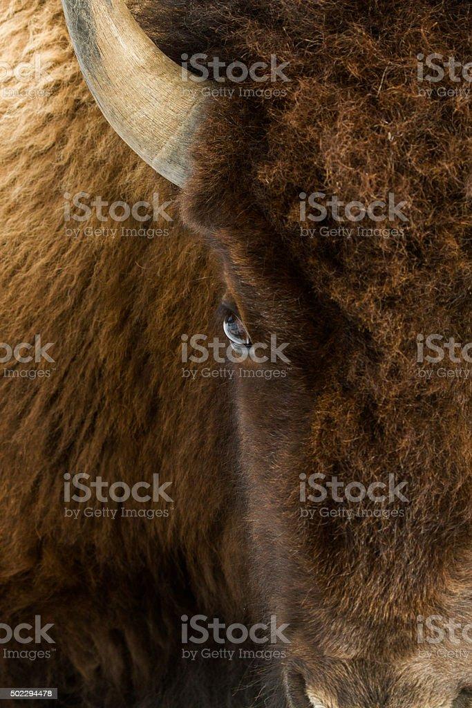 bison eye head on stock photo