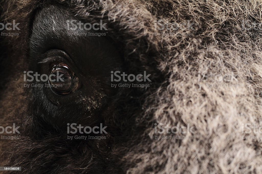 Bison eye royalty-free stock photo
