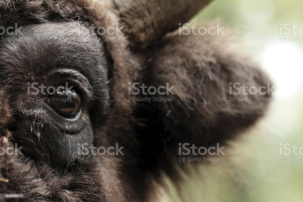 Bison eye stock photo