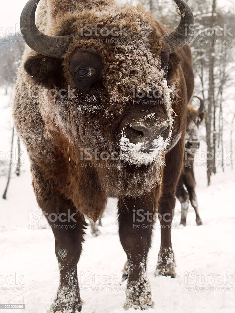 Bison face close to the camera. Altai Breeding bison place. stock photo