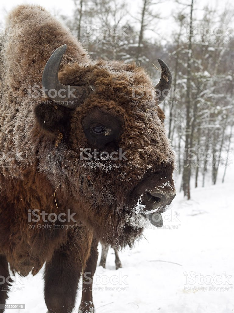 Bison face in profile close to camera. Altai Breeding bison. stock photo