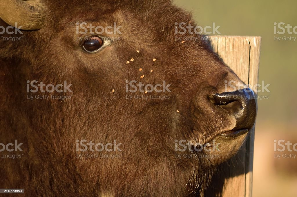 Bison Face stock photo