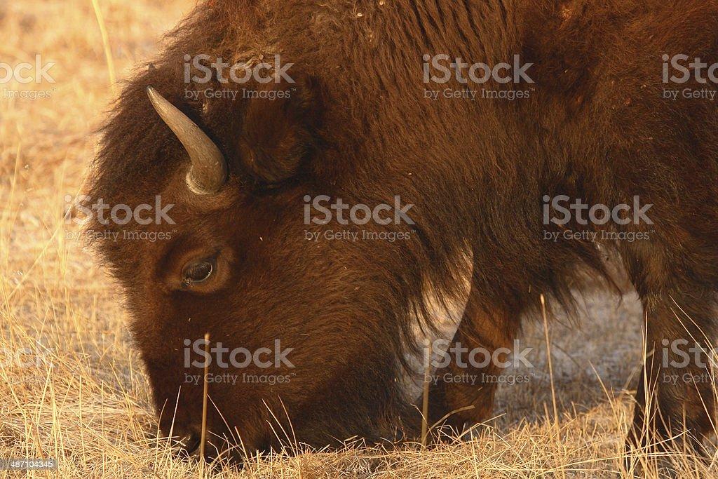 Bison Feeding stock photo