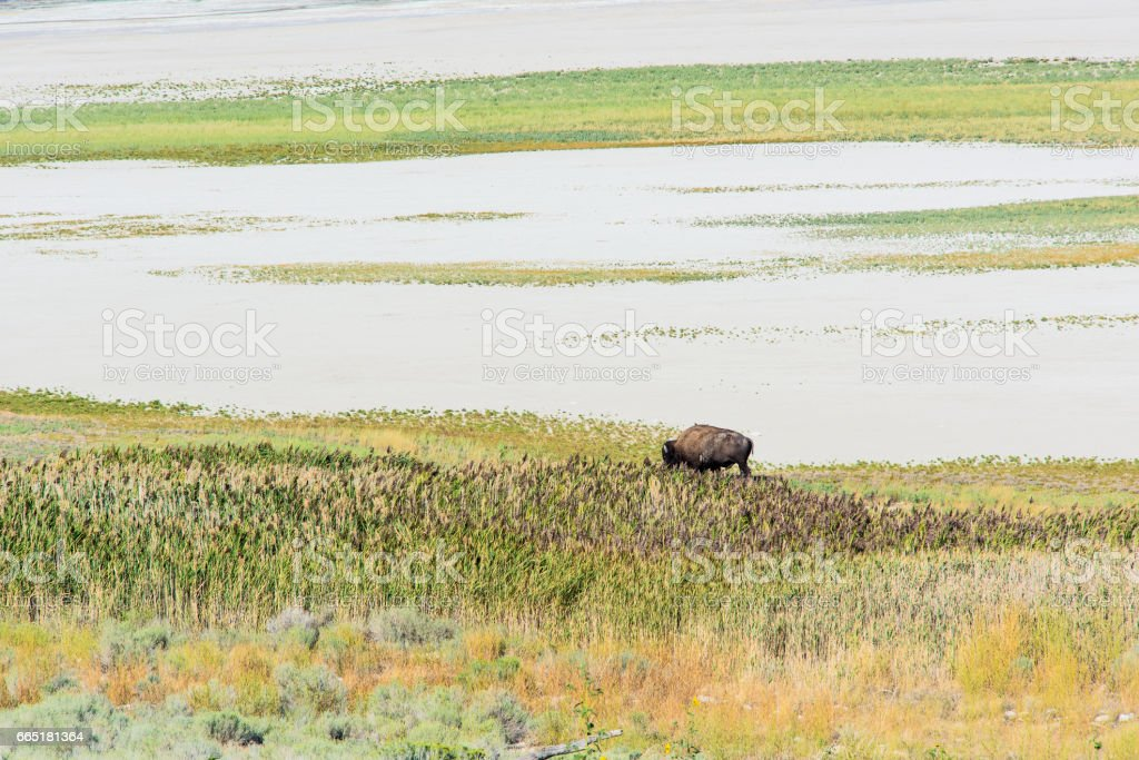 A bison grazes on grasslands near Great Salt Lake, Utah. stock photo