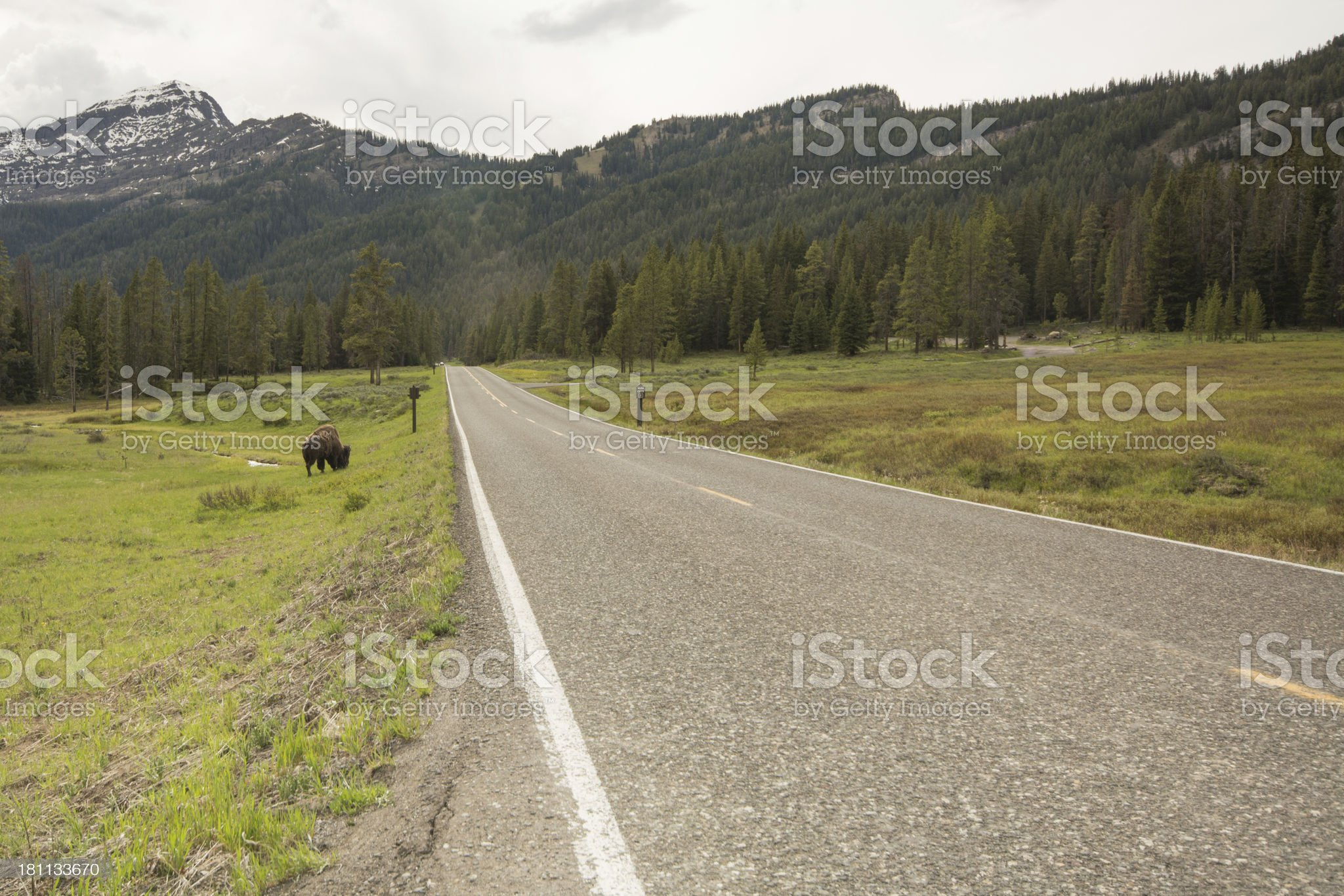 Bison grazing along senic highway royalty-free stock photo