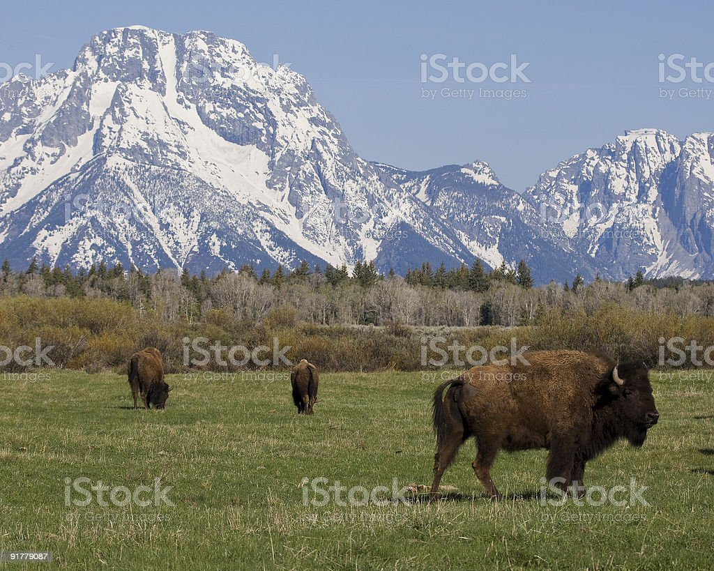 Bison grazing at the Tetons stock photo