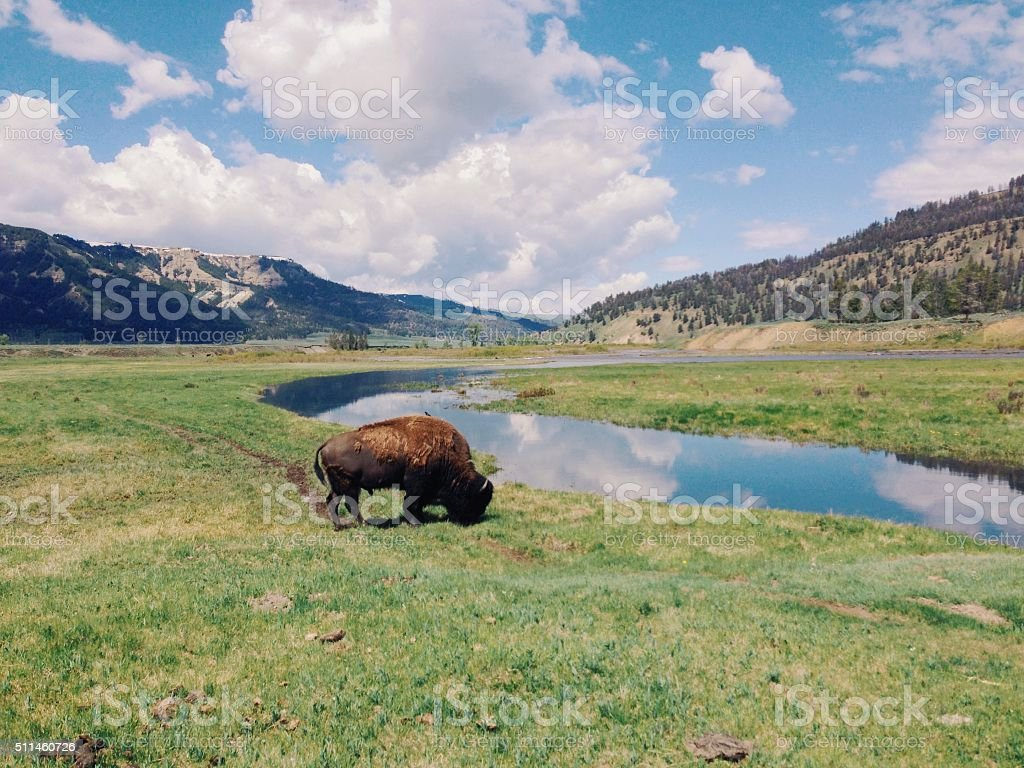 Bison Grazing royalty-free stock photo