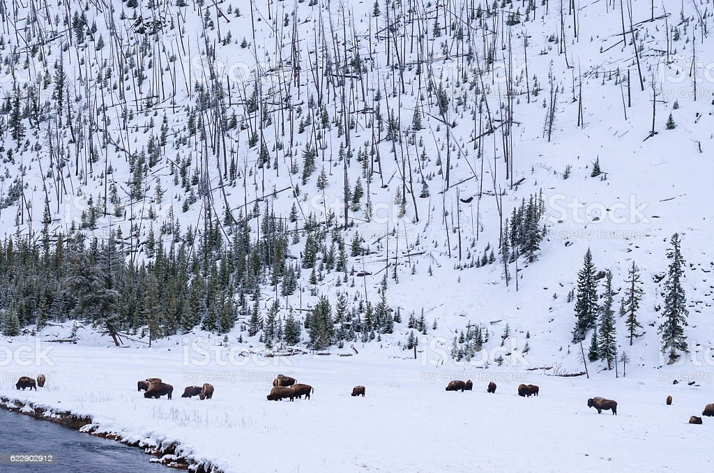Bison group on snow field stock photo
