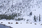 Bison group on snow field