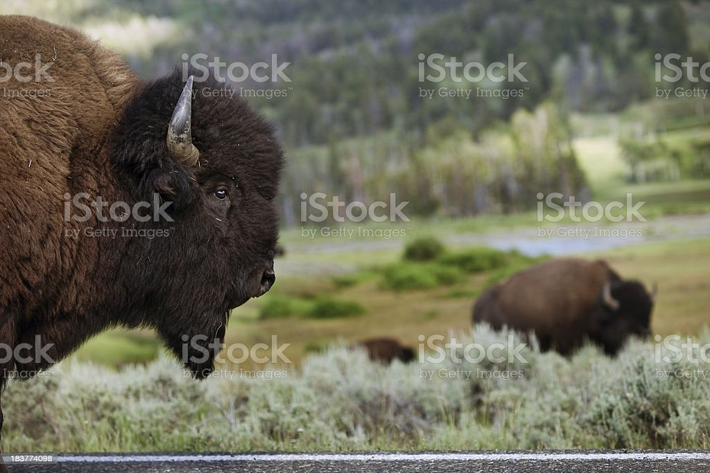 Bison Head stock photo