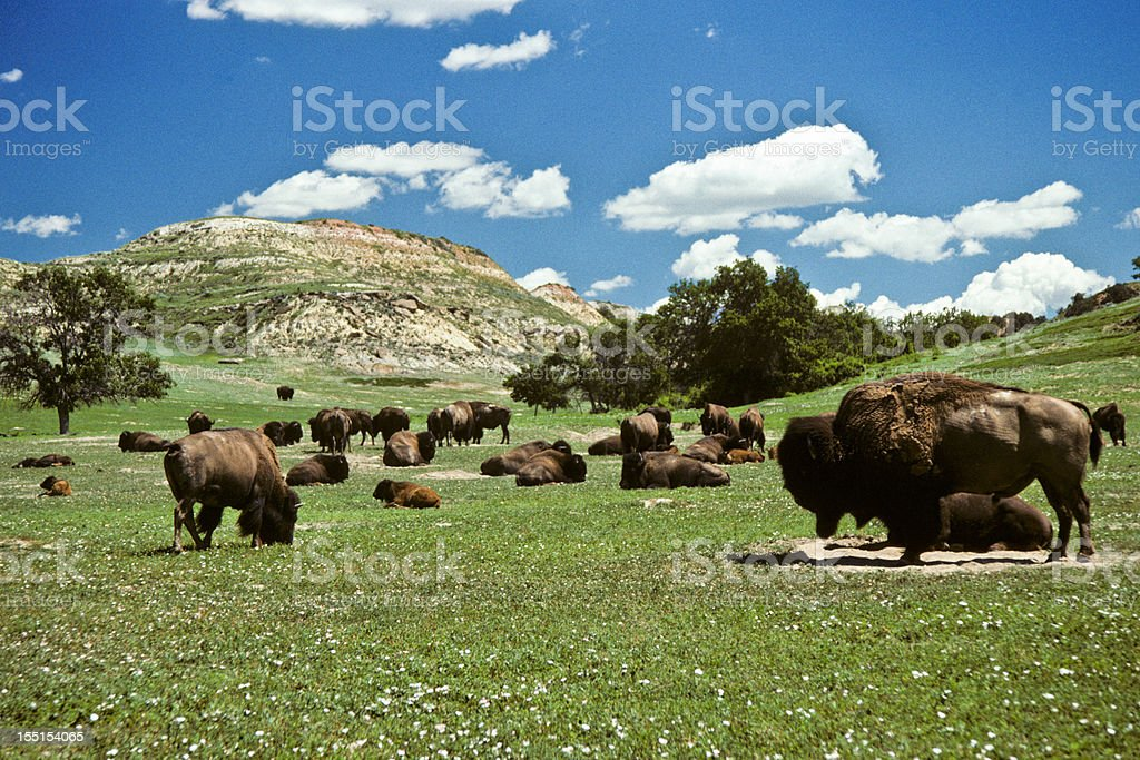 Bison Herd Feeding in a Meadow royalty-free stock photo