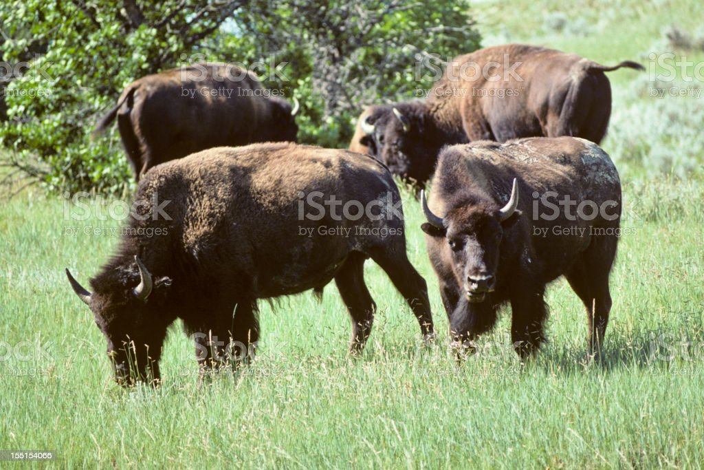 Bison Herd Grazing in a Meadow royalty-free stock photo