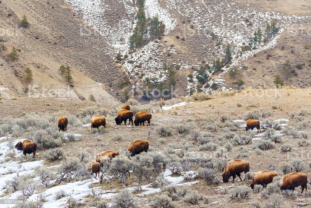 Bison Herd  in Winter stock photo