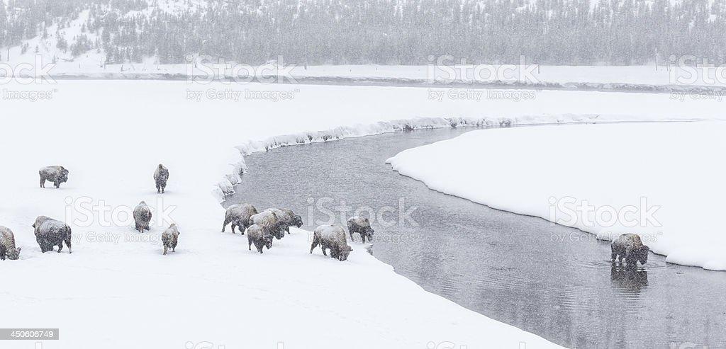 Bison Herd in Winter Snow stock photo