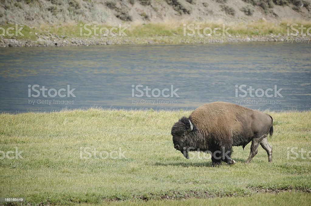 Bison herd in Yellowstone National Park stock photo
