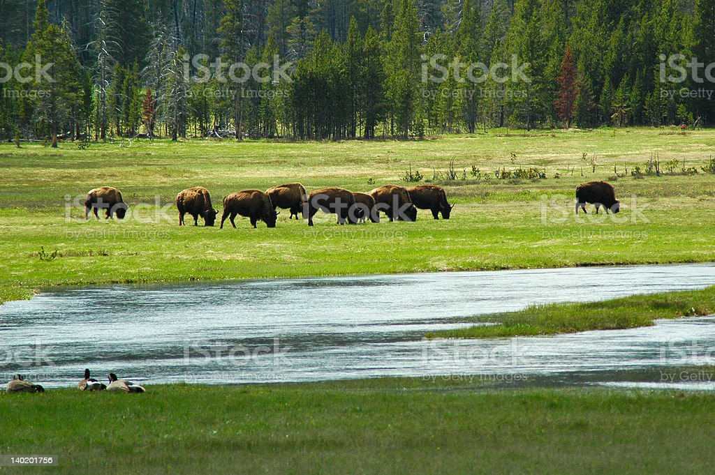 Bison Herd in Yellowstone stock photo