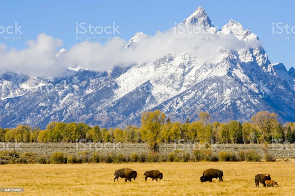 Bison Herd on Field with Mountains in Background stock photo
