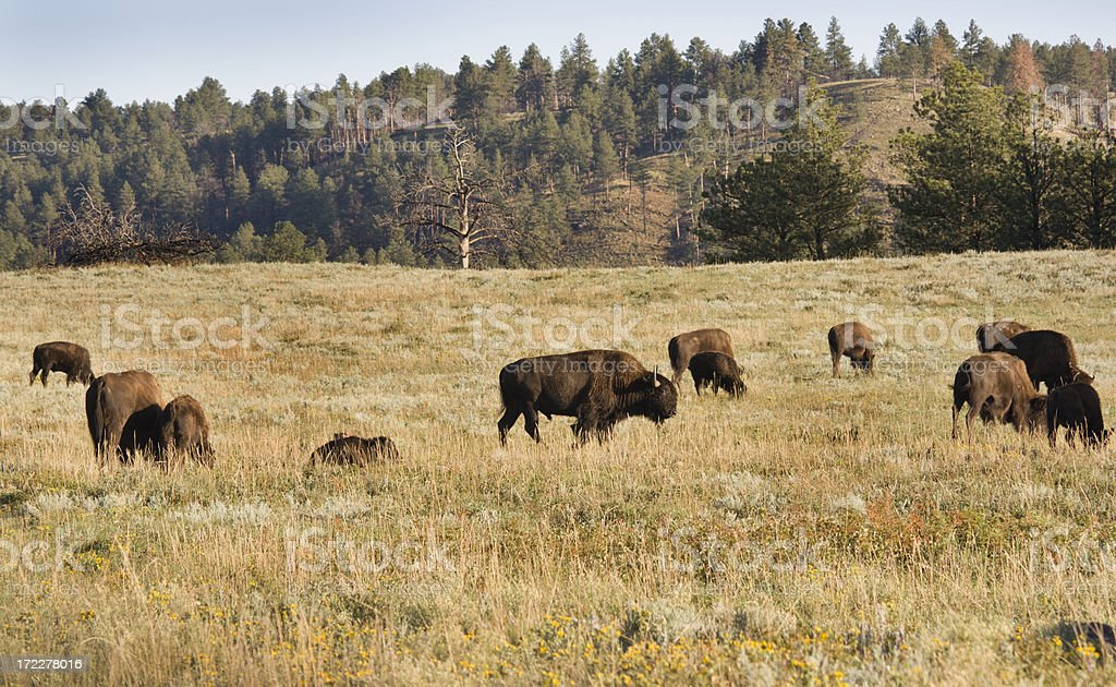 Bison Herd on Grassland royalty-free stock photo