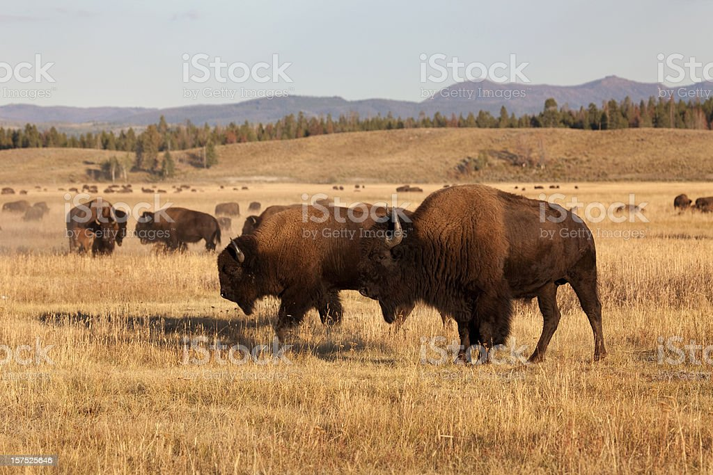 Bison herd, Tetons NP Wyoming royalty-free stock photo