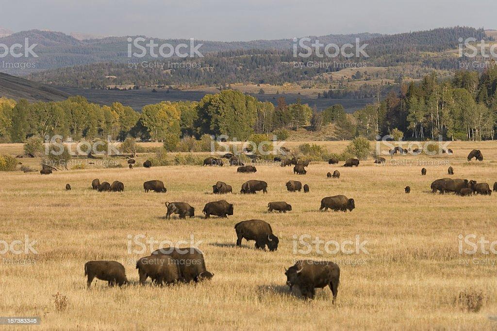 Bison herd, Tetons royalty-free stock photo