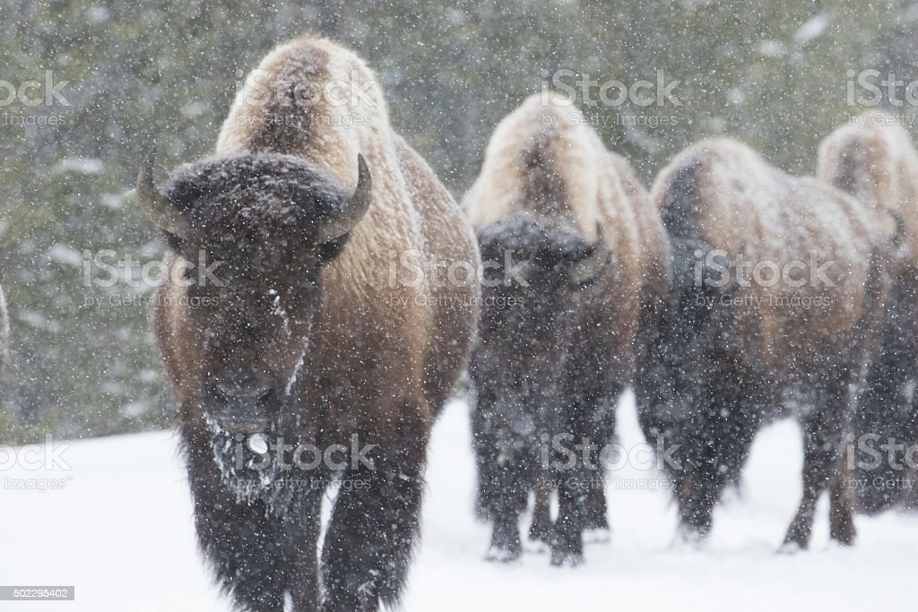 bison herd walking in snow stock photo