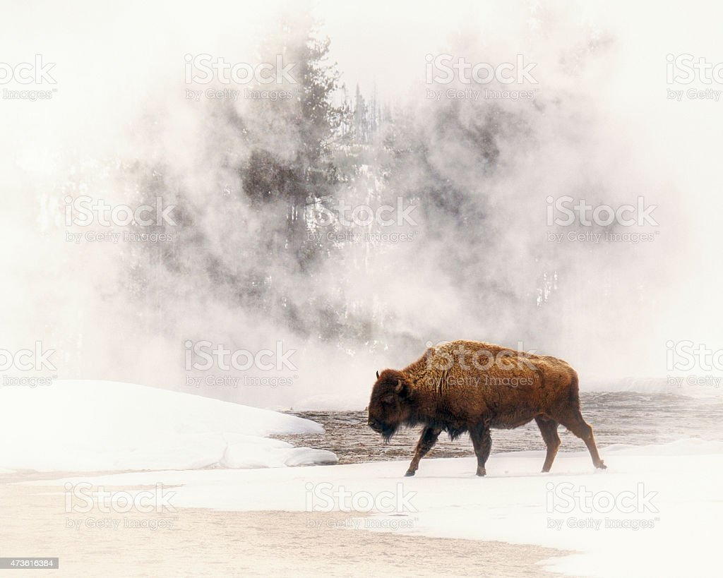 Bison In A Field of Fog In Yellowstone National Park stock photo