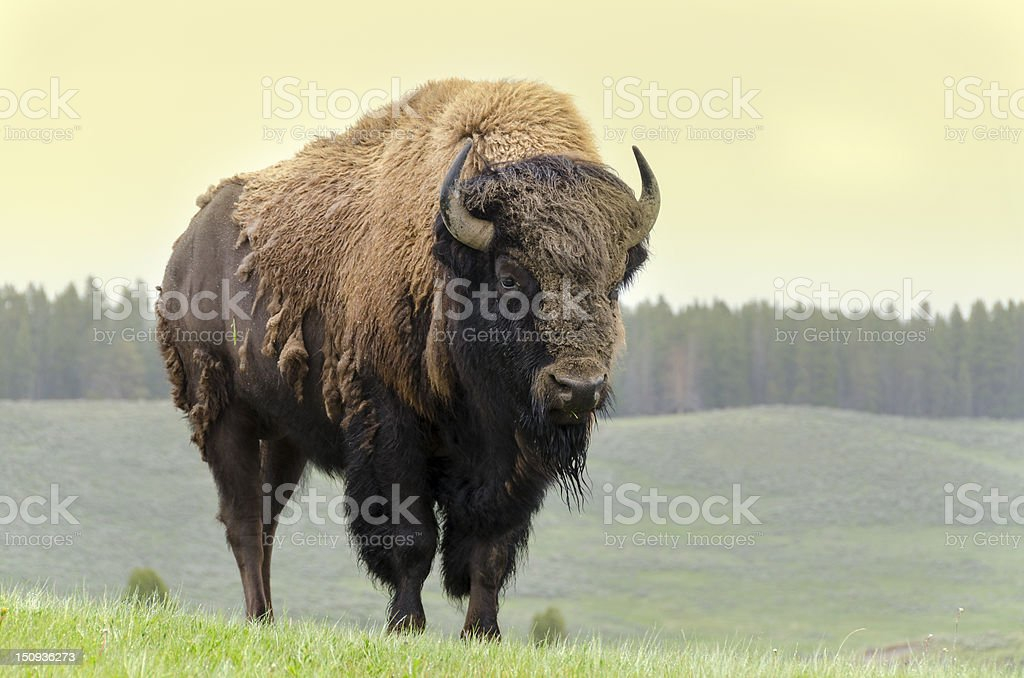 bison in America stock photo