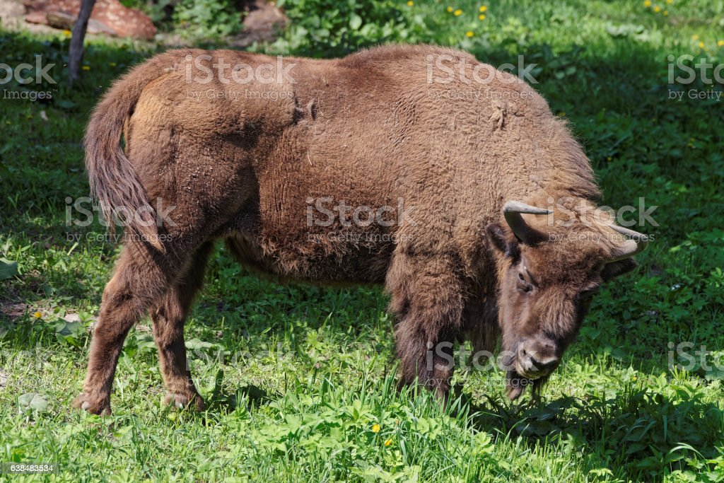 Bison in Bialowieza National Park Poland stock photo