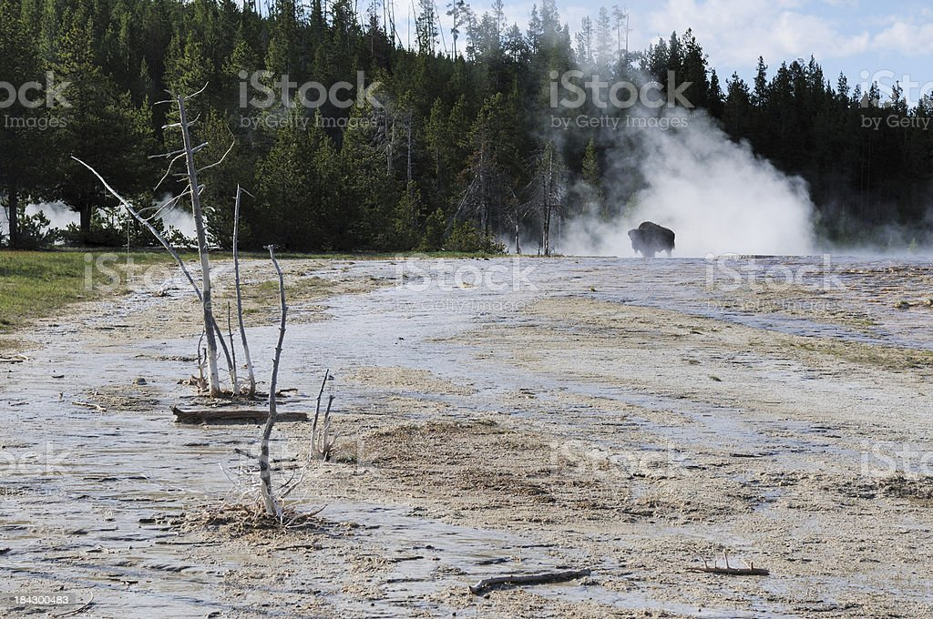 Bison in Early Morning Steam From Hot Spring of Yellowstone stock photo