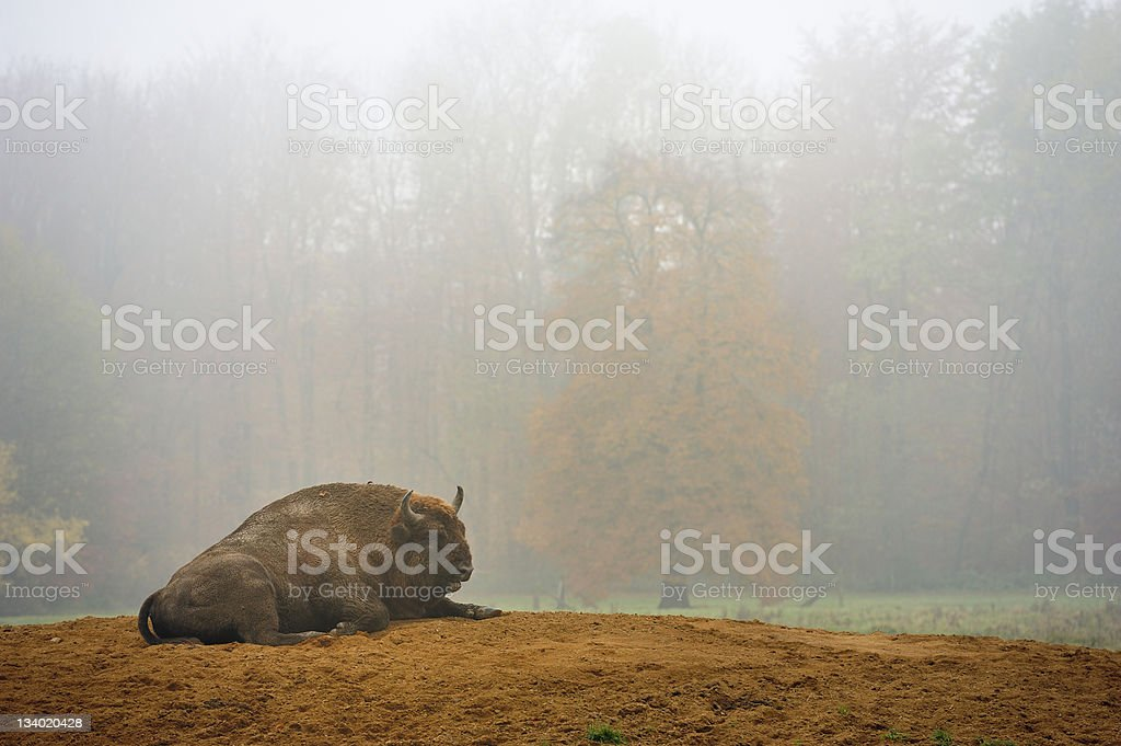 Bison in fogy forest stock photo