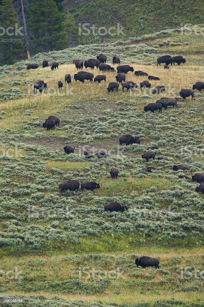 bison in grasslands of Yellowstone National Park in Wyoming stock photo