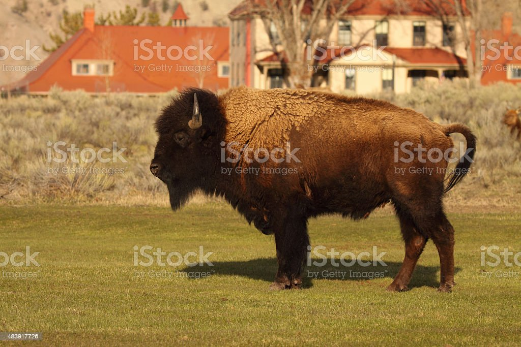 Bison In Middle Of Town stock photo