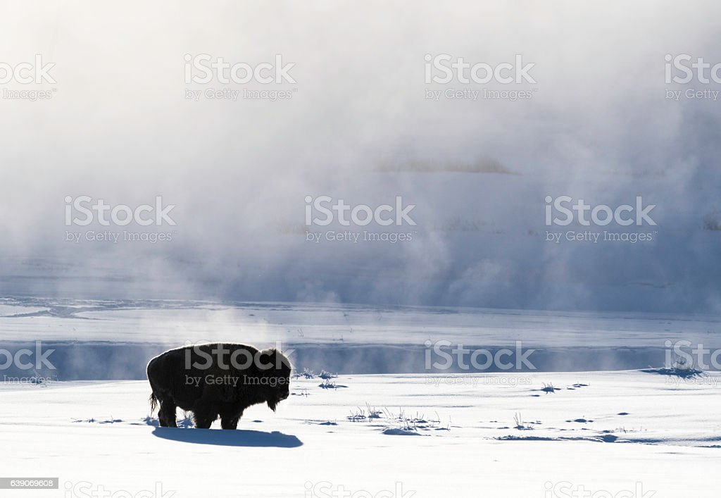 Bison in Mist Yellowstone Winter stock photo