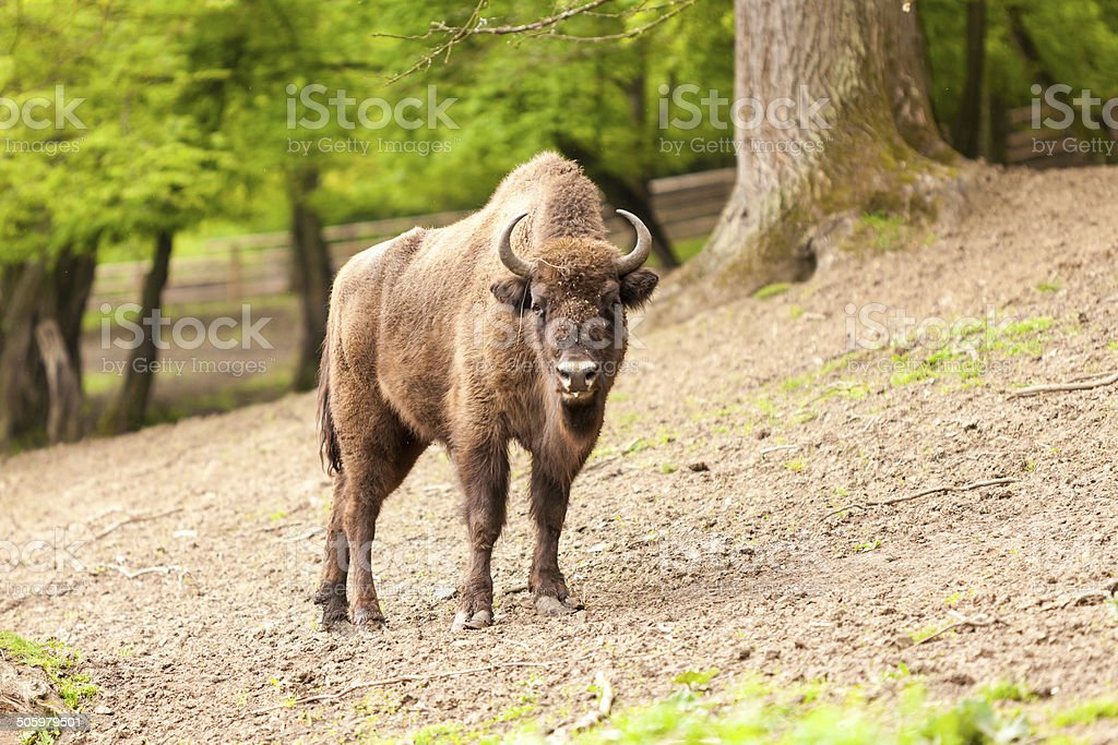Bison in reservation stock photo
