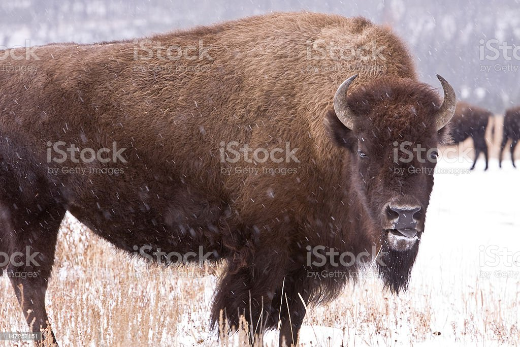 Bison in Snow royalty-free stock photo