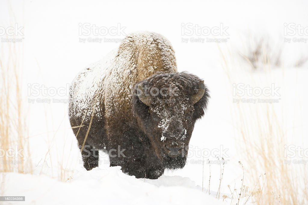 Bison in Snow stock photo