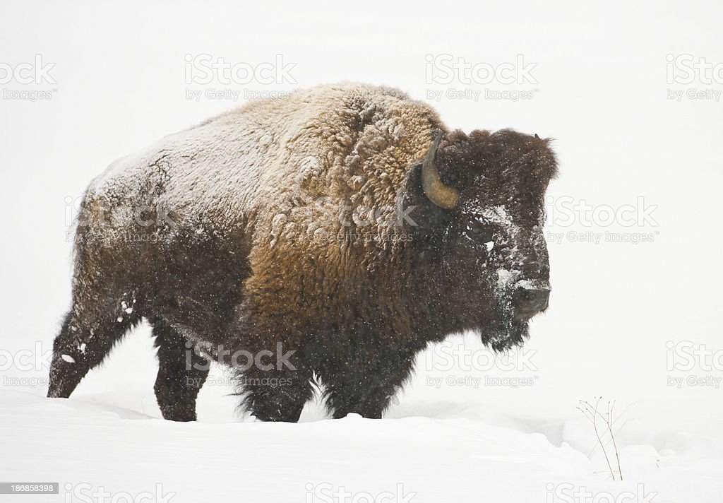Bison in Snowstorm stock photo