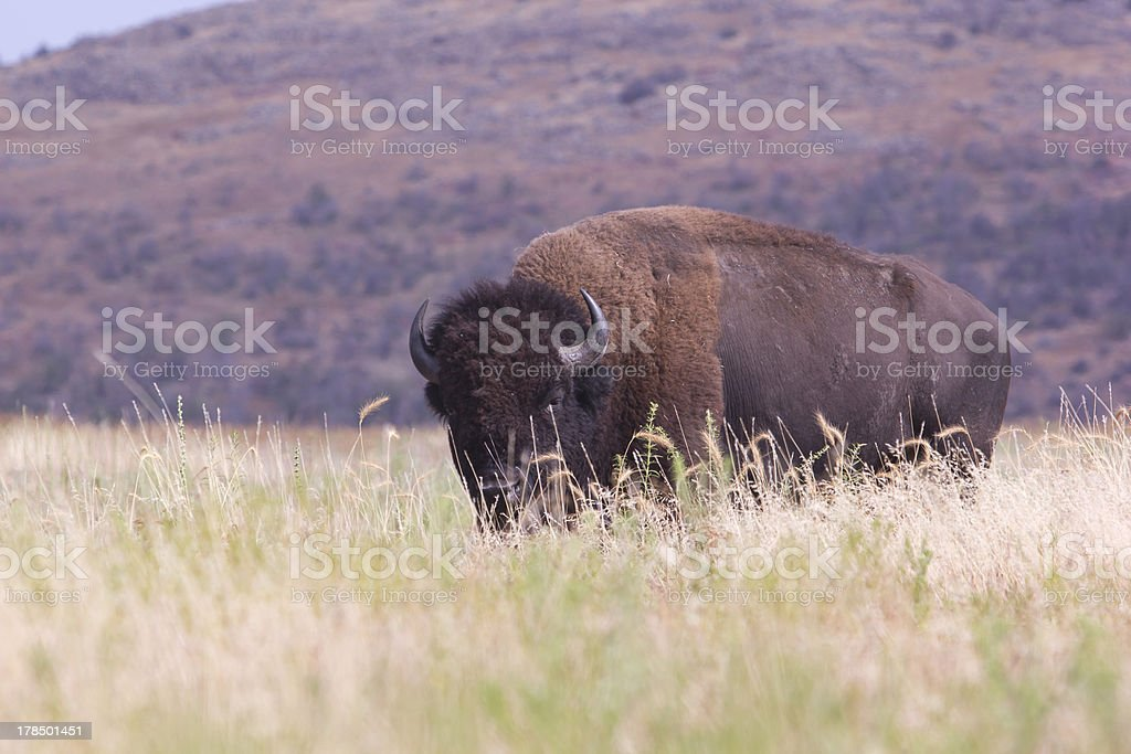 Bison in tall grass stock photo
