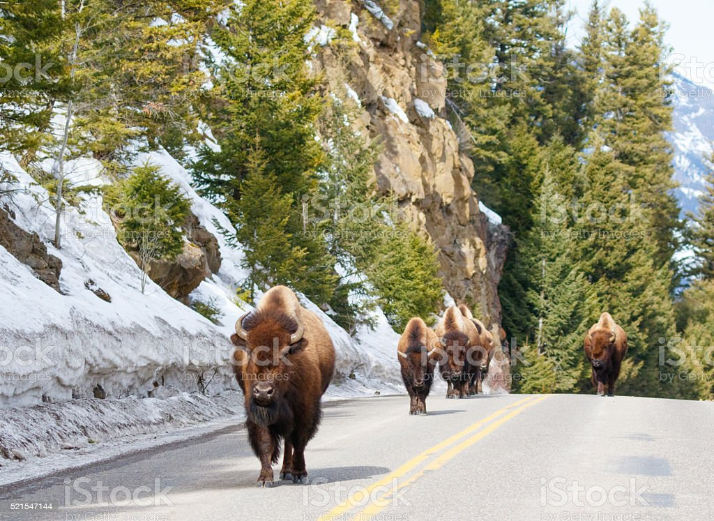 Bison in the Road stock photo