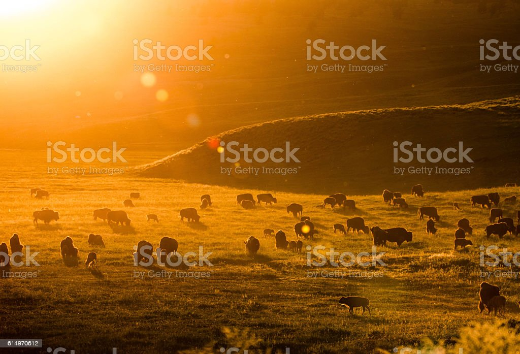 Bison in the sunset in the Lamar Valley, Yellowstone National Park stock photo