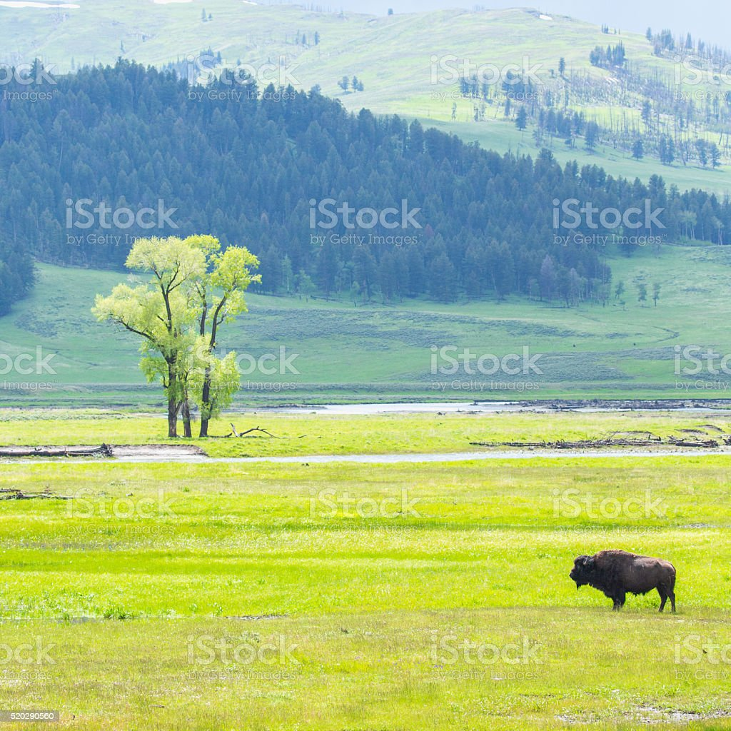 Bison in the wild stock photo