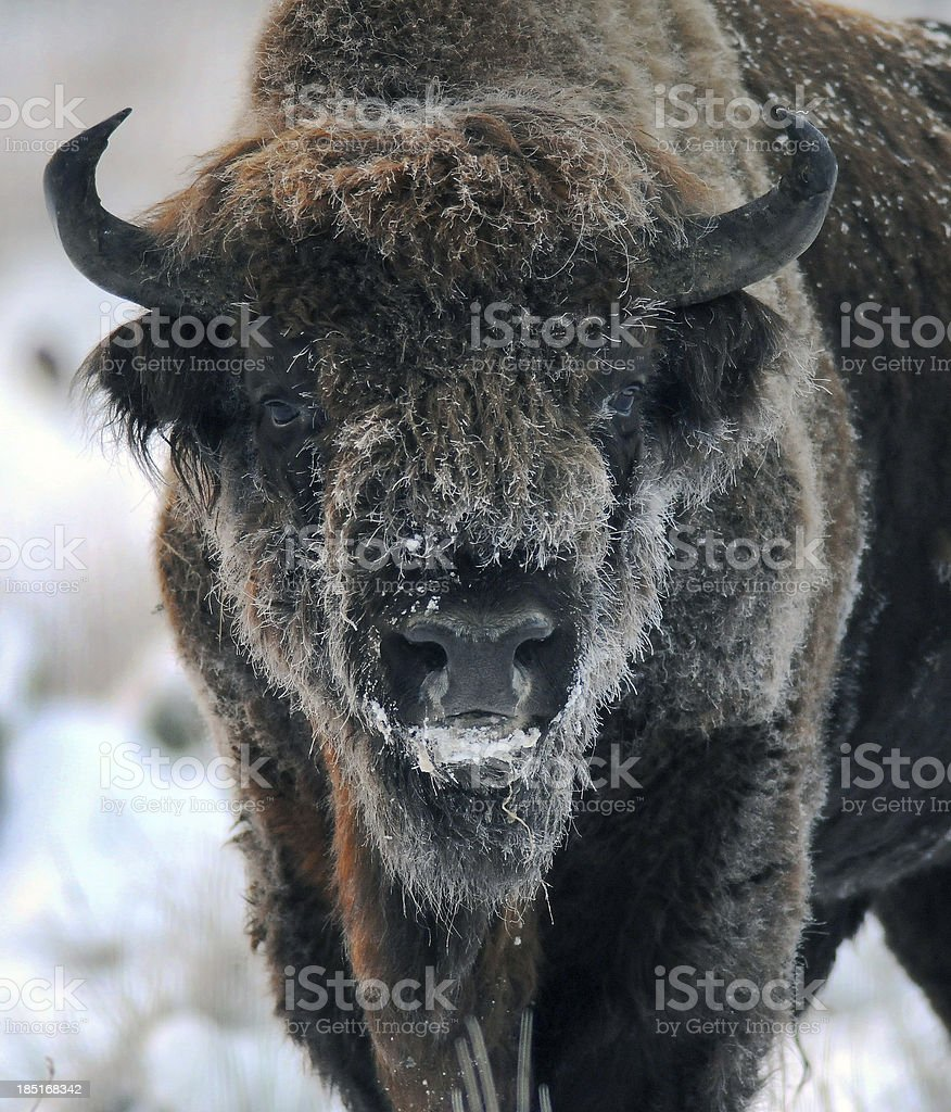 Bison in the winter stock photo