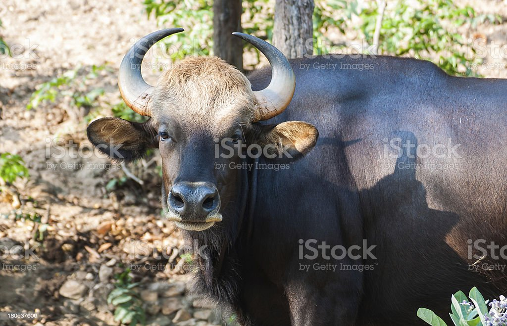 Bison in the zoo Thailand stock photo
