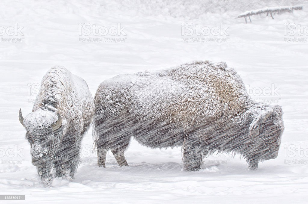 Bison in Winter Snow stock photo