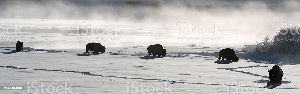 Bison in Winter Yellowstone stock photo